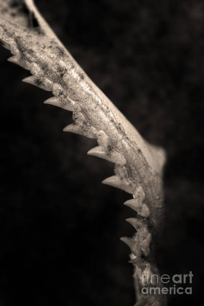 Photograph - Animal Jaw by Clayton Bastiani