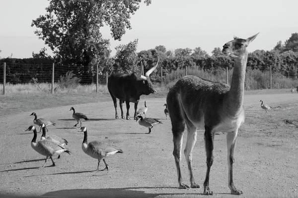Photograph - Animals Play Follow The Leader by Angela Murdock