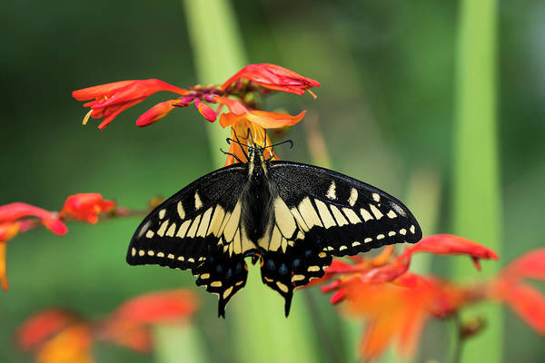Photograph - Anise Swallowtail by Robert Potts