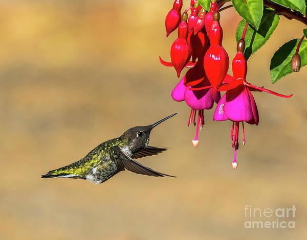 Photograph - Anna And Hardy Fuchsia Flower by Sal Ahmed