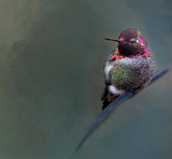 Beautiful Hummingbird Photograph - Anna Hummer by Rebecca Cozart