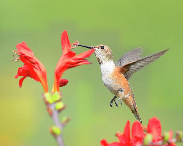 Wall Art - Photograph - Anna's Hummingbird 3 by Steve McKinzie