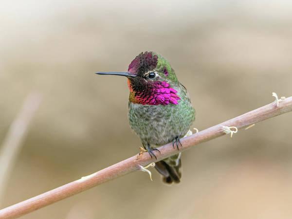 Photograph - Anna's Hummingbird 3807 by Tam Ryan