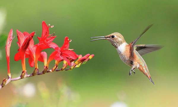 Wall Art - Photograph - Anna's Hummingbird 4  by Steve McKinzie