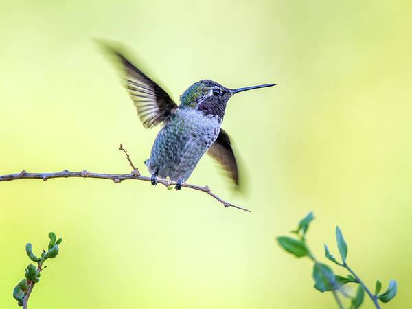 Photograph - Anna's Hummingbird 4327-080917-1cr by Tam Ryan