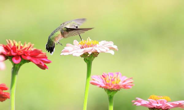 Wall Art - Photograph - Anna's Hummingbird 7 by Steve McKinzie