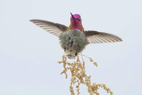 Photograph - Anna's Hummingbird 7446-021418-1cr by Tam Ryan