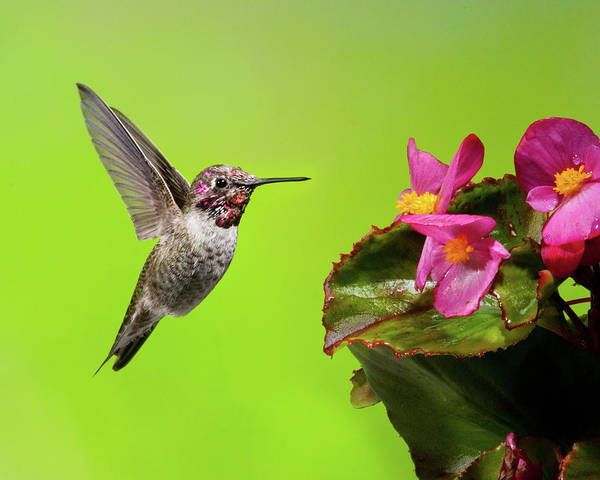 Photograph - Anna's Hummingbird And Begonia 1 by Lara Ellis
