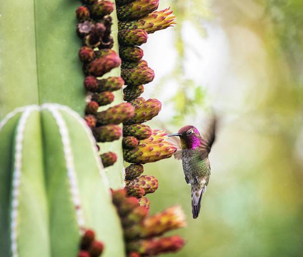 Wall Art - Photograph - Anna's Hummingbird And Cactus Flowers  by Saija Lehtonen