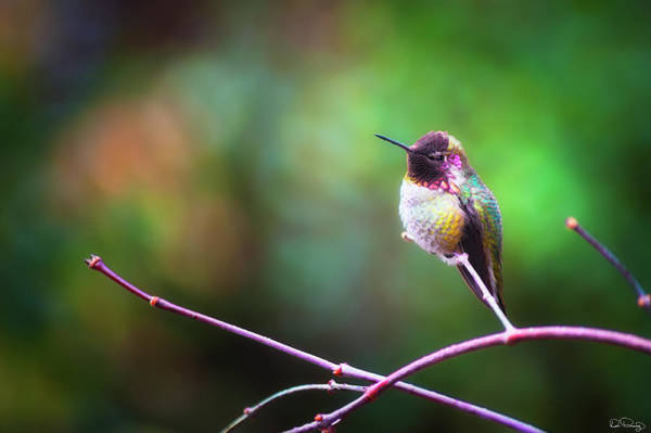Photograph - Anna's Hummingbird I by Dee Browning
