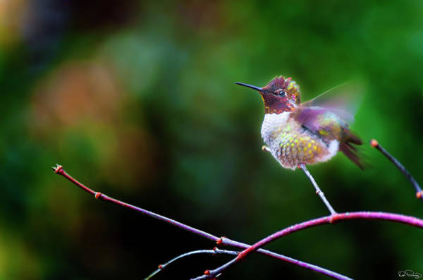 Photograph - Anna's Hummingbird IIi by Dee Browning