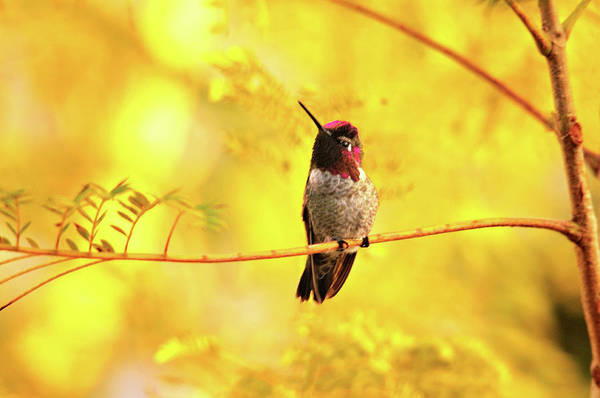 Photograph - Anna's Hummingbird In Golden Light by Lynn Bauer