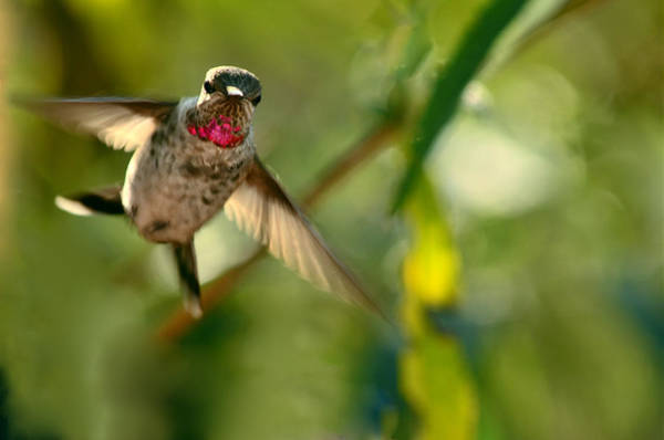 Wall Art - Photograph - Anna's Hummingbird In Landing Position by Laura Mountainspring