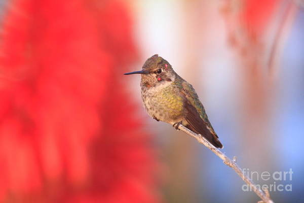 Photograph - Annas Hummingbird by John F Tsumas
