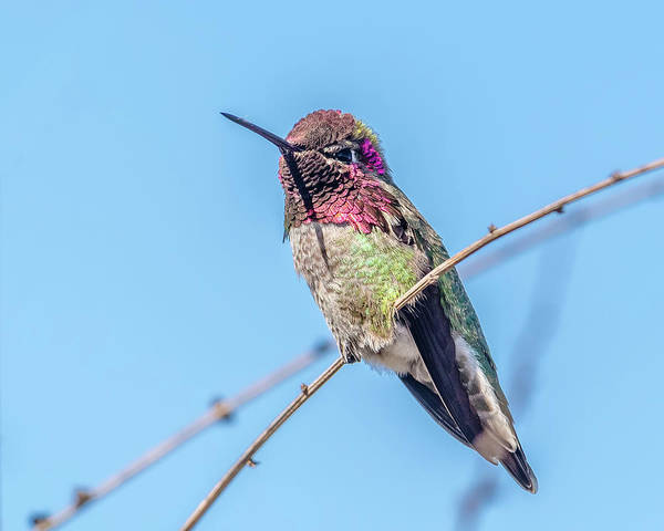 San Elijo Wall Art - Photograph - Anna's Hummingbird On A Branch by Morris Finkelstein