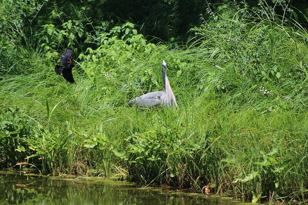 Photograph - Annoyed - Heron And Red Winged Blackbird 1 Of 10 by Colleen Cornelius