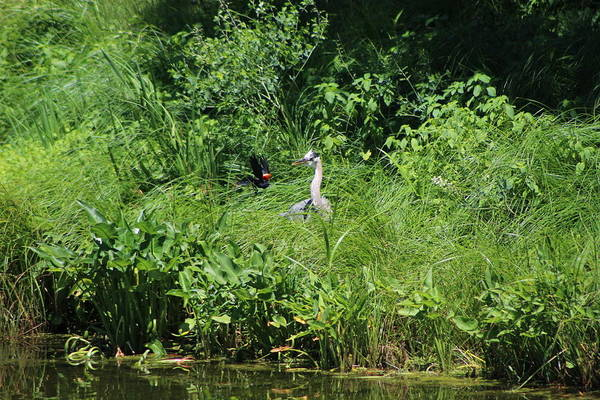 Photograph - Annoyed - Heron And Red Winged Blackbird 5 Of 10 by Colleen Cornelius