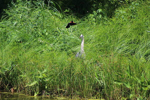 Photograph - Annoyed - Heron And Red Winged Blackbird 7 Of 10 by Colleen Cornelius