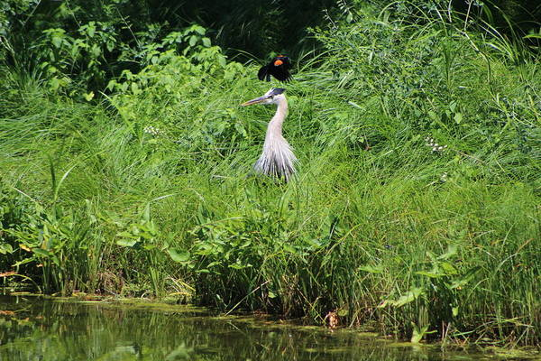 Photograph - Annoyed - Heron And Red Winged Blackbird 8 Of 10 by Colleen Cornelius
