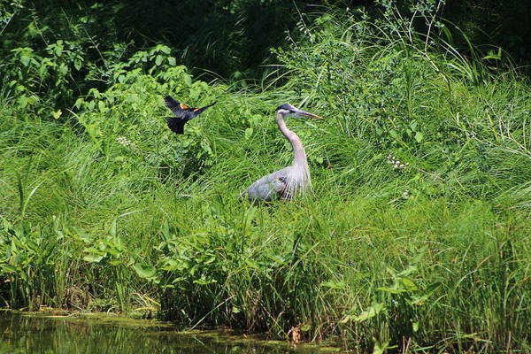 Photograph - Annoyed - Heron And Red Winged Blackbird 2 Of 10 by Colleen Cornelius