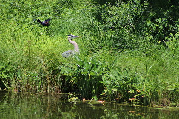 Photograph - Annoyed - Heron And Red Winged Blackbird 4 Of 10 by Colleen Cornelius