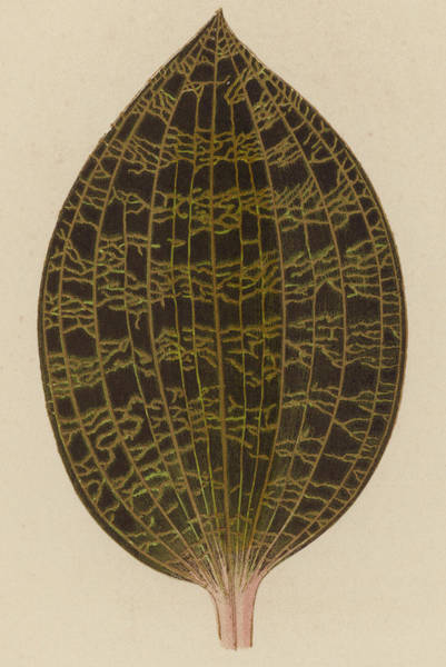 Leaf Venation Wall Art - Painting - Anoectochilus Lowii  by English School