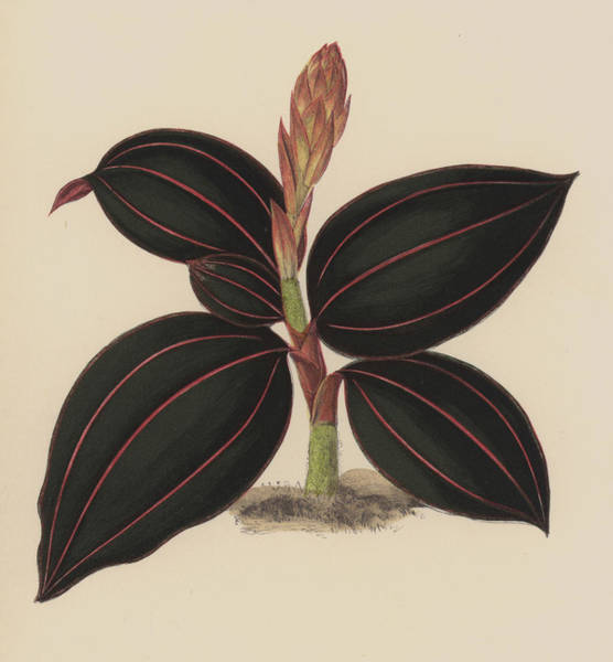 Leaf Venation Wall Art - Painting - Anoectochilus Rubro Venia by English School