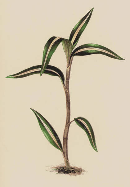 Leaf Venation Wall Art - Painting - Anoectochilus Striatus by English School