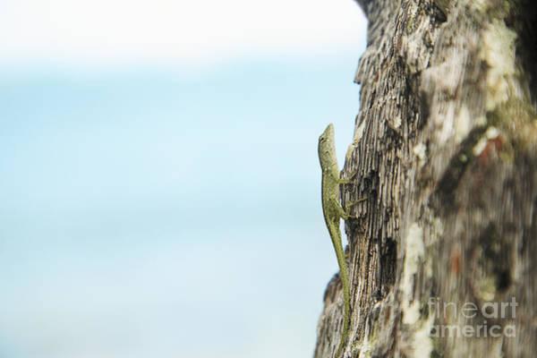 Green Anole Photograph - Anole Lizard by Brandon Tabiolo - Printscapes