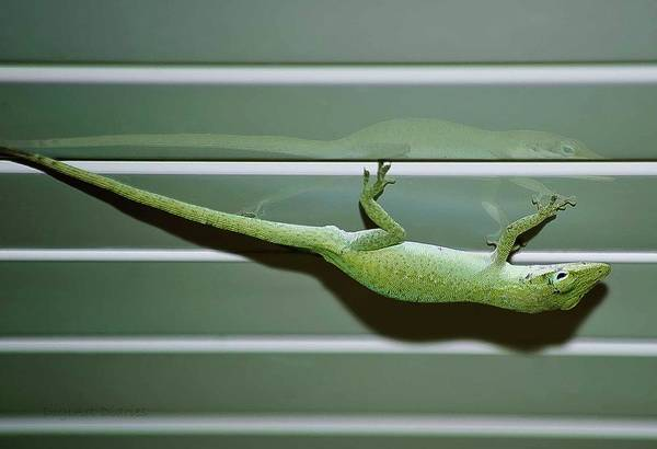 Brown Anole Wall Art - Photograph - Anole Reflection by DigiArt Diaries by Vicky B Fuller