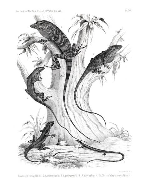 Drawing - Anoles Of Costa Rica by T Sinclair