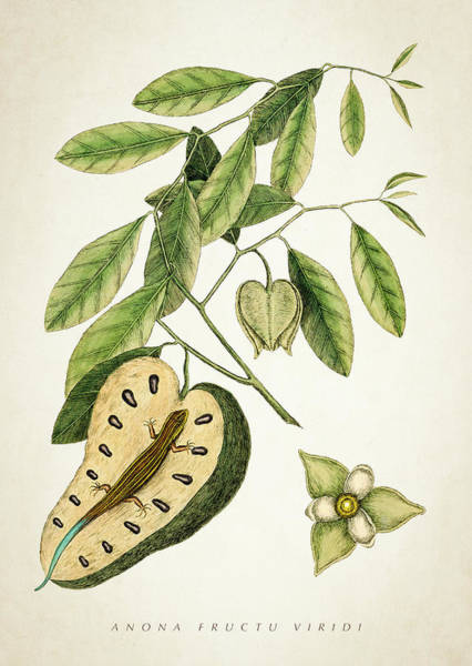 Wall Art - Digital Art - Anona Fructu Viridi Botanical Print by Aged Pixel
