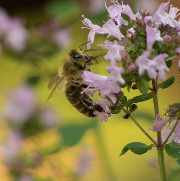 Photograph - Buzzy Bee by Marilyn Wilson