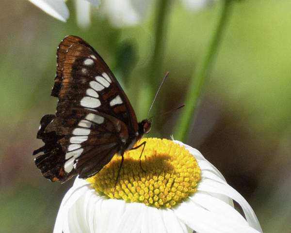 Photograph - Lorquin's Admiral Butterfly 4 by Marilyn Wilson