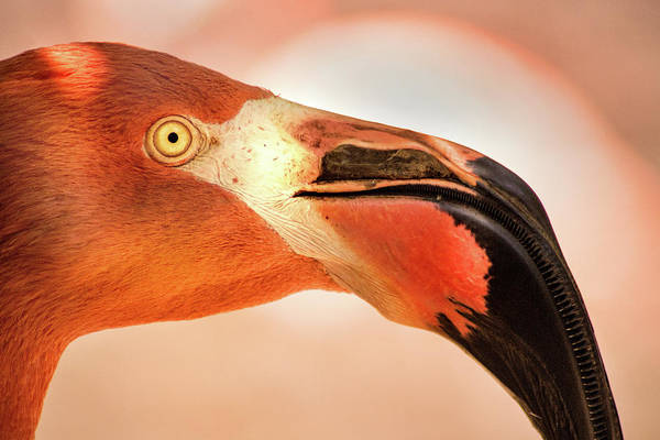 Photograph - Another Profile Of A Flamingo by Don Johnson