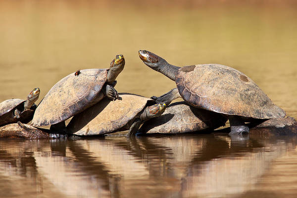 Photograph - Yellow-spotted Amazon River Turtles On Log by Aivar Mikko