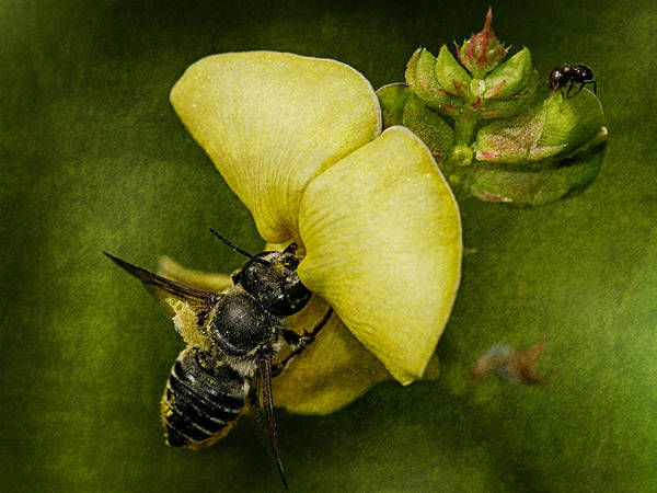 Photograph - Ant Bee by Charles McKelroy