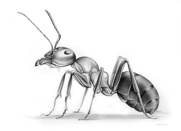 Insects Drawing - Ant by Greg Joens