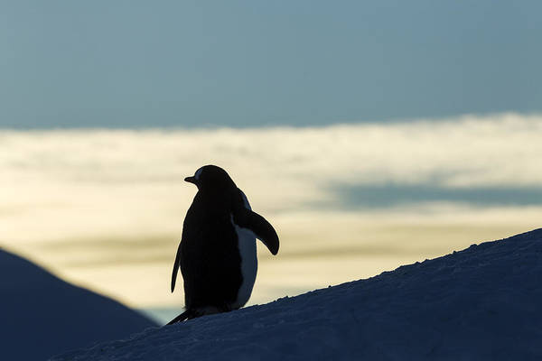 The Rookery Wall Art - Photograph - Antarctica, Anvers Island, Silhouette by Paul Souders