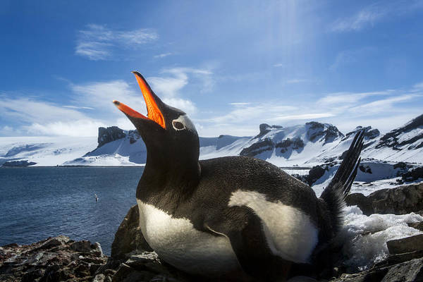 The Rookery Wall Art - Photograph - Antarctica, Livingstone Island, Flash by Paul Souders