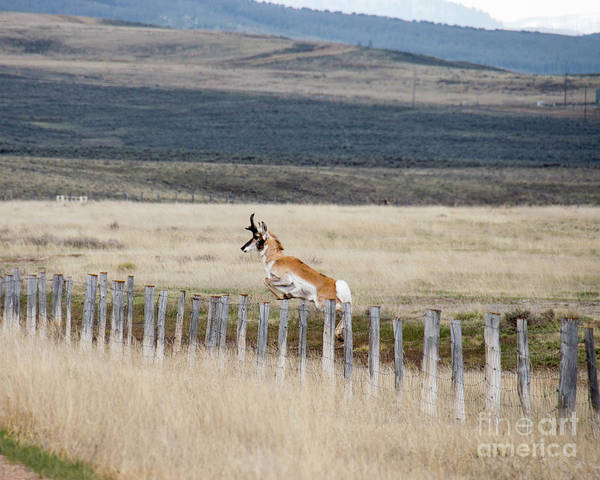 Pronghorn Antelope Wall Art - Photograph - Antelope Jumping Fence 1 by Rebecca Margraf