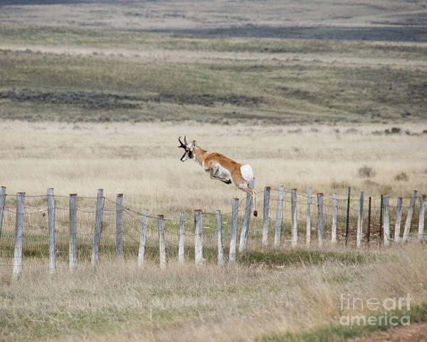 Pronghorn Antelope Wall Art - Photograph - Antelope Jumping Fence 2 by Rebecca Margraf