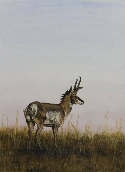 Painting - Antelope by Laurie Tietjen