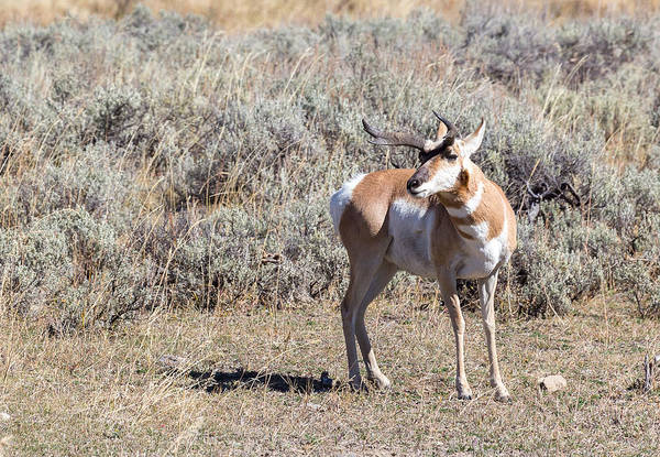 Photograph - Antelope by Michael Chatt