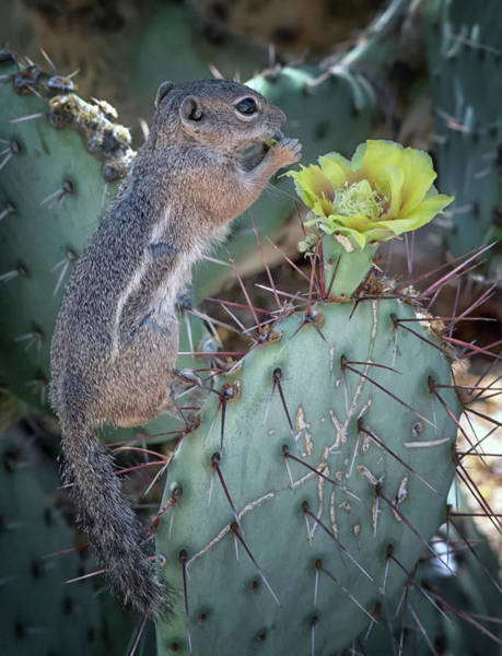 Photograph - Antelope Squirrel Treat 7206-042418-1 by Tam Ryan