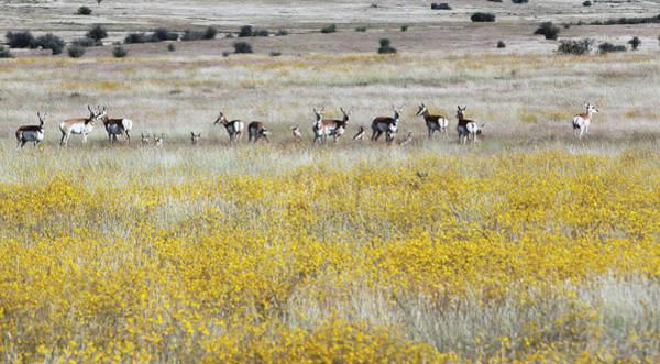 Photograph - Antelopes 7541-092714-1e by Tam Ryan