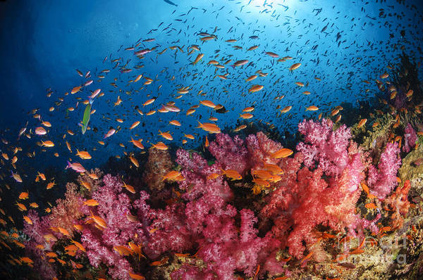 Cnidaria Photograph - Anthias Fish And Soft Corals, Fiji by Todd Winner