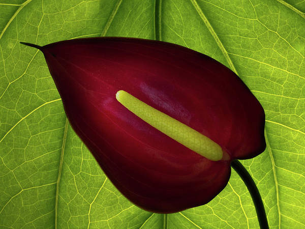 Photograph - Anthurium by Christopher Johnson