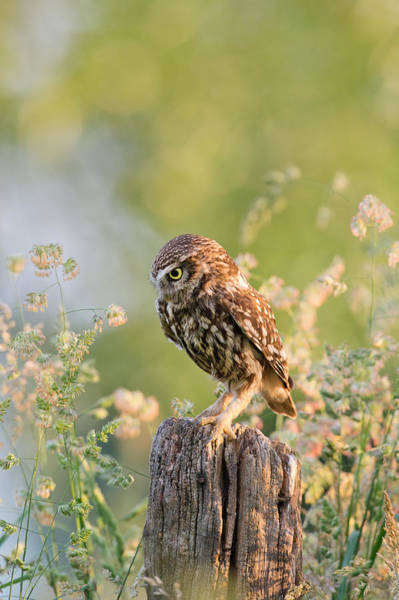 Wildfowl Photograph - Anticipation - Little Owl Staring At Its Prey by Roeselien Raimond