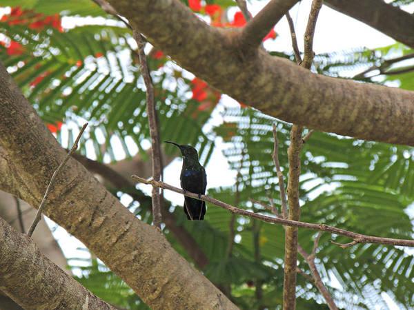 Photograph - Antigua Hummingbird In Flamboyant Tree 2 by Kimberly Perry
